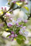 Fleurs de pommier Reproduction photographique par C. Nidhoff-Lang