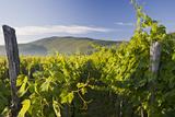 Croatia, Kvarner Gulf, Krk (Island), Vines, Vines, Wine-Growing, Vines Photographic Print by Rainer Mirau