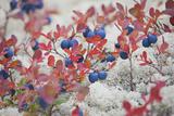 Norway, Hedmark, Blueberries Photographic Print by Rainer Mirau