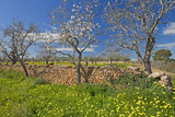 Europe, Spain, Majorca, Meadow, Yellow Flowers, Almonds Photographic Print by Chris Seba