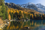 Mountain Lake Saoseo Surrounded by Colourful Larches in Front of Snow-Covered Mountainscape, Autumn Lámina fotográfica por P. Kaczynski
