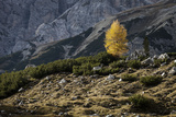 Europe, Italy, South Tyrol, the Dolomites, Autumnal Colored Larch Fotografie-Druck von Gerhard Wild