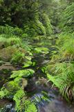 Rain Forest, Omanawa Gorge, Bay of Plenty, North Island, New Zealand Photographic Print by Rainer Mirau