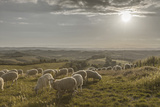 Europe, Italy, Tuscany, Near Siena, Le Crete, Flock of Sheep, Back Light Photography Reproduction photographique par Gerhard Wild