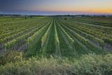 Austria, Burgenland, Neusiedl Am See, Vines Photographic Print by Rainer Mirau