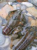 American Crayfish, Two, Gravel Fotografisk tryk af Harald Kroiss