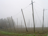 Hop Garden in the Hallertau, Autumn, Fog Fotoprint av Harald Kroiss