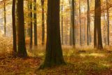 Sunny Beech Forest in Autumn, Harz, Near Allrode, Saxony-Anhalt, Germany Fotografie-Druck von Andreas Vitting