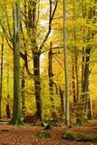 Nearly Natural Mixed Deciduous Forest with Old Oaks and Beeches in Autumn, Spessart Nature Park Fotografie-Druck von Andreas Vitting