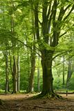 Old Gigantic Beeches in a Former Wood Pasture (Pastoral Forest), Sababurg, Hesse Fotografisk trykk av Andreas Vitting