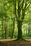 Old Gigantic Beeches in a Former Wood Pasture (Pastoral Forest), Sababurg, Hesse Fotoprint van Andreas Vitting