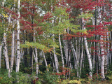 Forest, Trees, Birch, Maple, Autumn Foliage Photographic Print by  Thonig