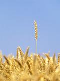 Wheat Field, Triticum Aestivum, Ears, Sky, Blue Photographic Print by Herbert Kehrer