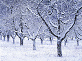 Cherry Trees, Winter, Snow, Detail, Bald, Leafless, Germany, Winter Scenery, Frost, Season Photographic Print by Herbert Kehrer