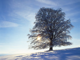 Copper Beech, Fagus Sylvatica, Snow-Covered, Back Light, Leafless Photographic Print by Herbert Kehrer
