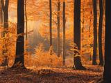 Beech Forest, Autumn Fotografisk trykk av  Thonig