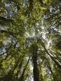 Tree Tops, Wood, Fiordland National Park, Southland, South Island, New Zealand Fotografisk trykk av Rainer Mirau
