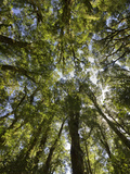 Tree Tops, Wood, Fiordland National Park, Southland, South Island, New Zealand Photographic Print by Rainer Mirau