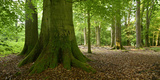 Old Gigantic Beeches in a Former Wood Pasture (Pastoral Forest), Sababurg, Hesse Fotografie-Druck von Andreas Vitting