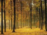 Buchenwald, Morgenstimmung, Herbst, Wald, Herbstwald, Bv¤Ume, Laubwald Fotografie-Druck von  Thonig