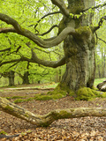 Gnarly Old Beeches in a Former Pastoral Forest in Early Spring, Kellerwald, Hessen, Germany Fotografie-Druck von Andreas Vitting
