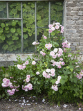 Pink Climbing Roses in Front of Old Greenhouse Photographic Print by Andrea Haase