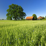 Germany, Mecklenburg-West Pomerania, Grain Field, Solitairy Oak, Hut Photographic Print by Andreas Vitting