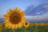 Sunny Side Up Reproduction photographique par  Darren White Photography