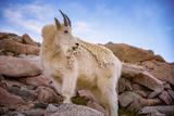 Billy Goat Scruff Fotografie-Druck von  Darren White Photography