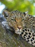 Leopard Gepard Animal Cat Reproduction procédé giclée par  Wonderful Dream
