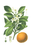 Botanical Drawing of Sweet Orange Fruit and Flowers Pôsters