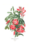 Botanical Drawing of Cacti and Red Flowers Affiches