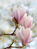 Magnolia Flower Bloom Prints by  Wonderful Dream