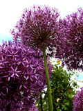 Purple Allium Flower 2 Prints by  Wonderful Dream