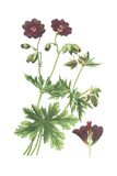 Botanical Drawing of Deep Purple Geranium Posters