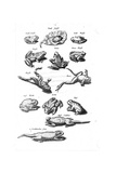 Scientific Illustrations of Frogs in Black and White Láminas