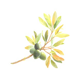 Olives on Branch with Leaves on Off White Colored Background Posters