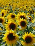 Sunflower Bloom Field Yellow Affiches par  Wonderful Dream