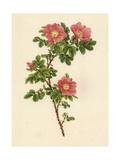 Several Blooming Pink Roses Giclée-Premiumdruck