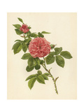 Blooming Pink Roses and Leaves Giclée-Premiumdruck
