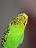 Green Budgie Bird Parrot Affiche par  Wonderful Dream