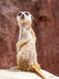 African Meerkat Animal Plakater af  Wonderful Dream