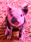 Funky Pig Piglet Farm Reproduction procédé giclée par  Wonderful Dream