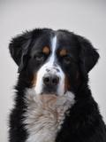 Cute Dog Pet Animal Reproduction procédé giclée par  Wonderful Dream