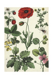 Red Poppy, Strawberry Plant, and Other Flowers Stampe