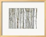 Birch Wood Print by  PhotoINC