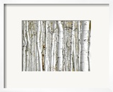 Birch Wood Prints by  PhotoINC