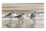 Bécasseaux des sables Affiches par Richard Clifton