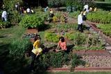 Fall Harvest of the White House Kitchen Garden,  Michelle Obama, White House Chefs and Children Photo
