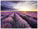 Lavender Sunrise Art